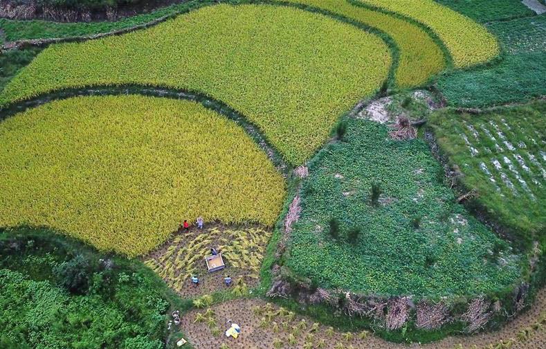 贵州石阡:山区农民抢秋收