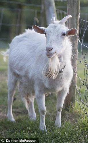 研究发现:山羊能分辨人类情绪 喜欢面带笑容的人