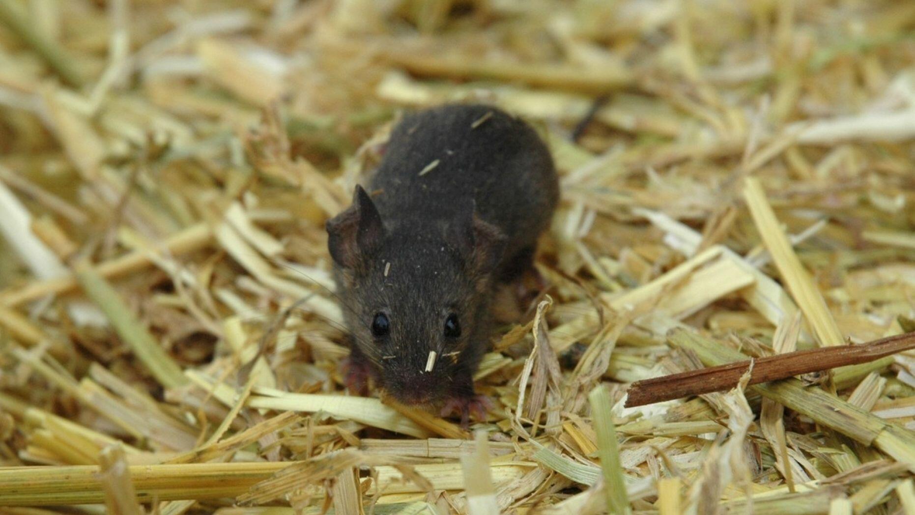 不要小看鼠类排泄物!美一女子因接触类似物质染病死亡