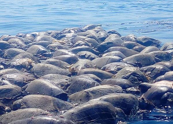 300只濒危海龟命丧墨西哥非法捕鱼网 浮尸海面