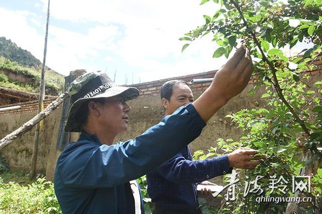 花椒树引起的遐想