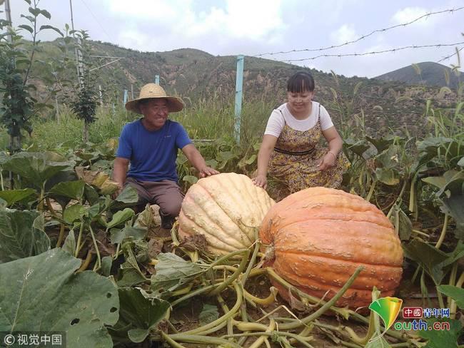 """一颗近50公斤 子长农民种出""""网红""""大南瓜"""