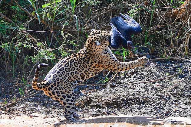 """巴西公园上演豹鹰""""史诗""""大战 场面激烈以豹获胜收场"""