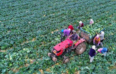"""祁连山下8850余亩蔬菜迎来""""丰收季"""""""