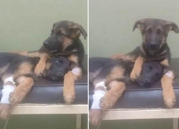 暖心!埃及小狗患病未愈兽医院内拥抱安抚生病妹妹
