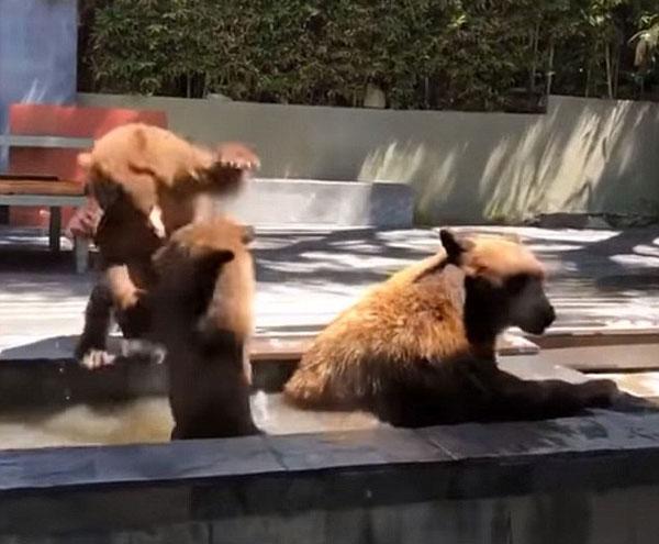 棕熊妈妈携子溜进民宅后院 两幼崽喷泉嬉闹解暑