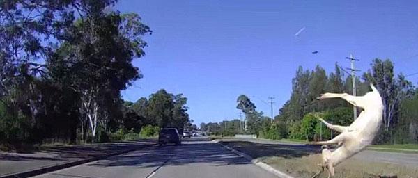 澳雄鹿过马路撞上高速行驶汽车 爬起后逃走