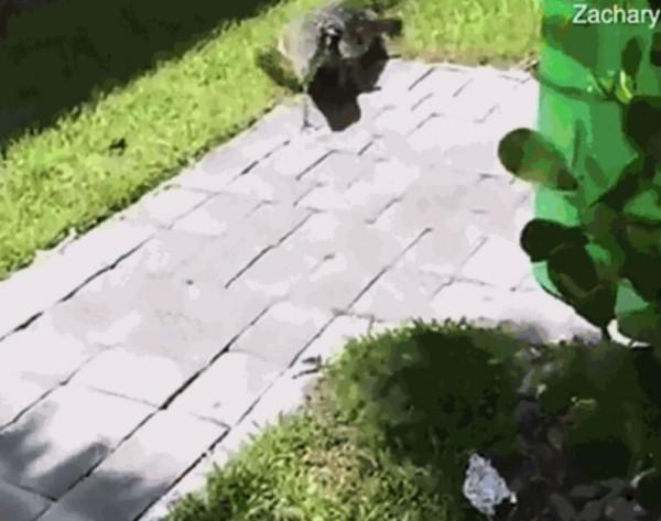 2米巨蜥多次闯进民宅将幼童当猎物 吓坏这家人