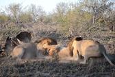 南非两雄狮攻击母狮抢占食物 母狮失落离开