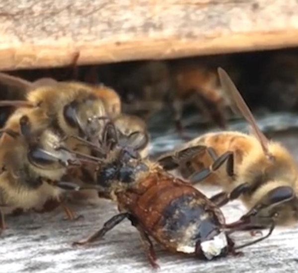 暖心!工蜂组队帮助落难伙伴清理身体