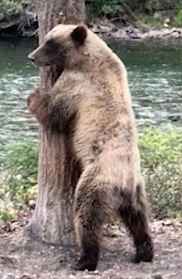 """加拿大一棕熊为止痒紧靠大树跳起""""电臀舞"""""""