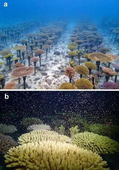 """为了修复退化严重的珊瑚礁 我们在海底""""造林"""""""