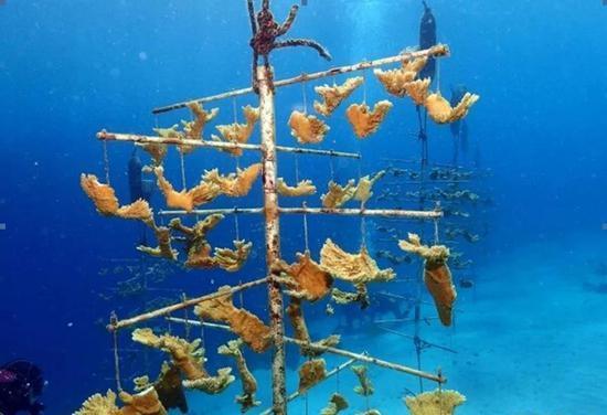 "TNC在加勒比海的""珊瑚树""培育方法(图片来源:https://curacaotodo.com/)"