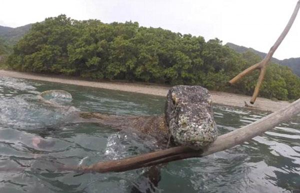 惊险!印尼摄影师近距离拍下科莫多巨蜥惊人照片