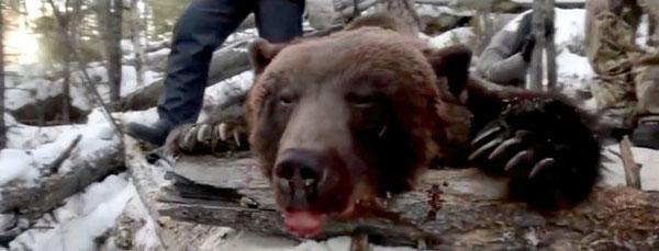 俄罗斯一州长射杀洞穴内冬眠棕熊庆生引众怒