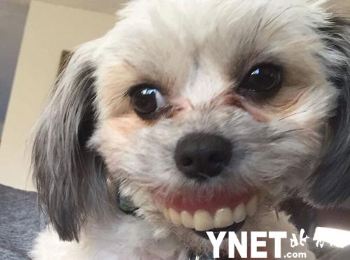 外国网友分享萌宠趣闻 小狗偷戴假牙套被疯传成表情包