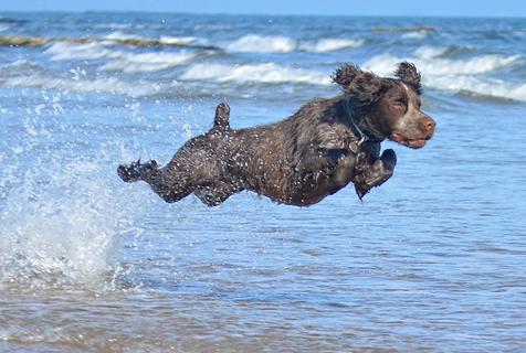 可卡犬跳高1.5米 精力过剩要逆天