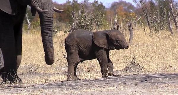 心疼!南非小象失去象鼻或遭遇生存危机