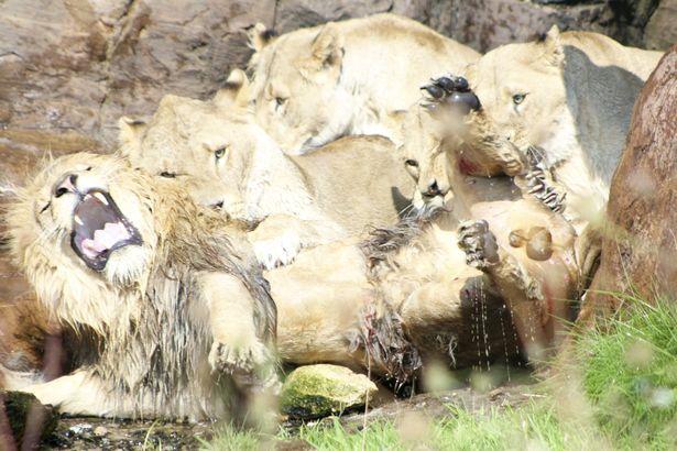 英动物园内母狮疯狂围攻雄狮企图置其于死地