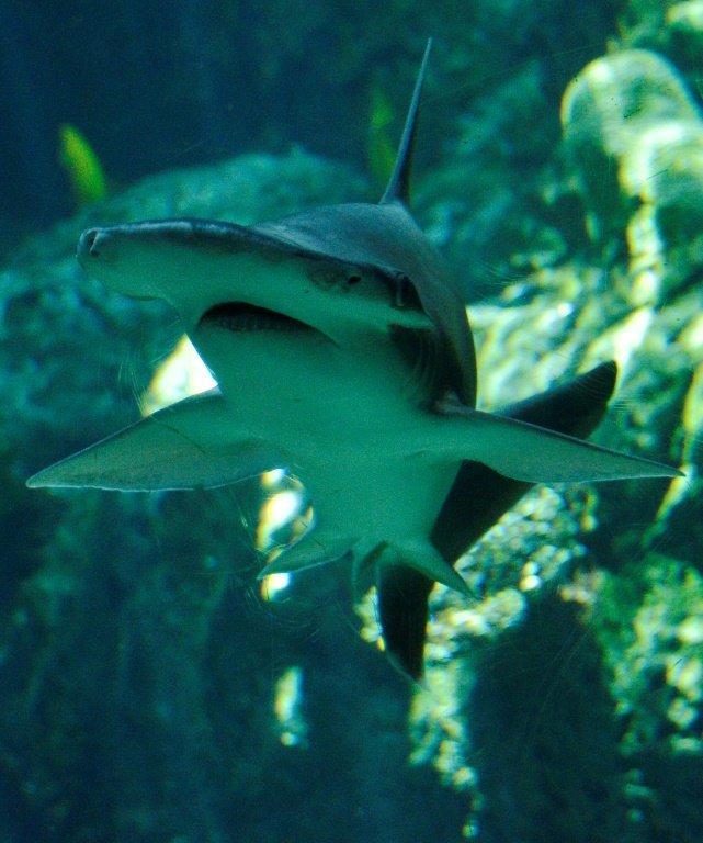 科学家首次发现主要吃素的杂食鲨鱼
