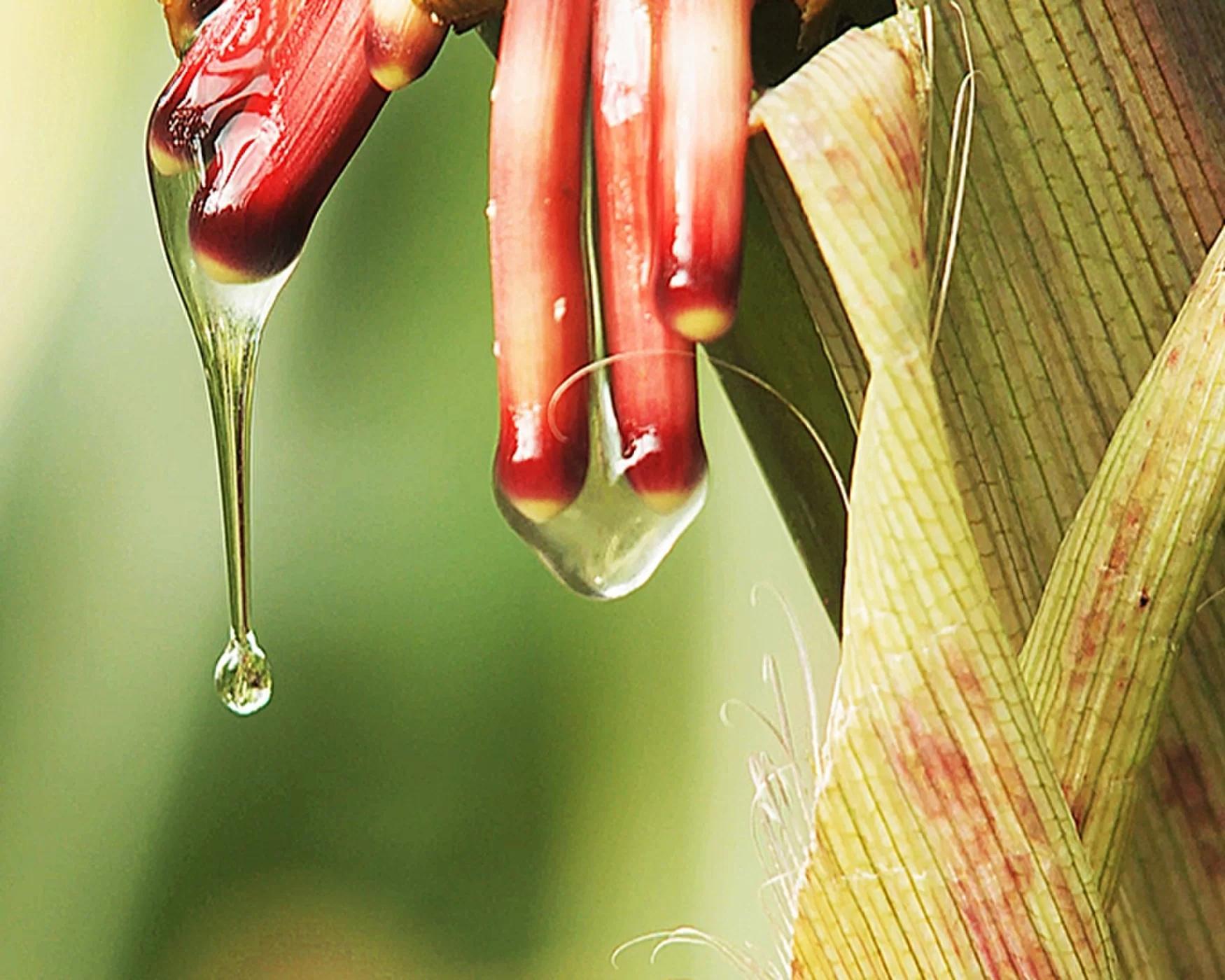 """化肥导致""""氮污染""""?这种玉米能从空气中自给自足"""