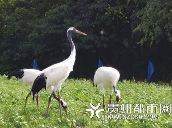 动物园丹顶鹤训练时飞走 管理站:或以管理不善处罚