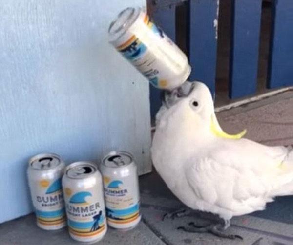 再来一罐!澳鹦鹉衔啤酒罐仰脖痛饮