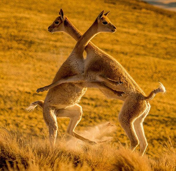 世界最可爱战斗:两美洲驼为争夺领地打架似拥抱