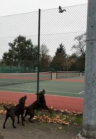 英国一小松鼠从天而降敏捷上树躲开两犬追击