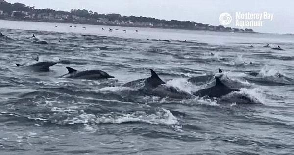 加州海岸边数百海豚海面跳跃 场面蔚为壮观