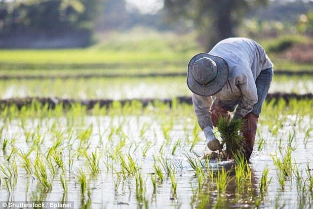 研究:全球稻田绿室气体排放量相当于600座煤厂