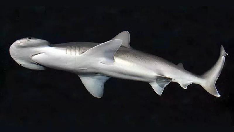 """谁说鲨鱼都吃荤?研究发现:鲨鱼是个""""弹性素食者"""""""