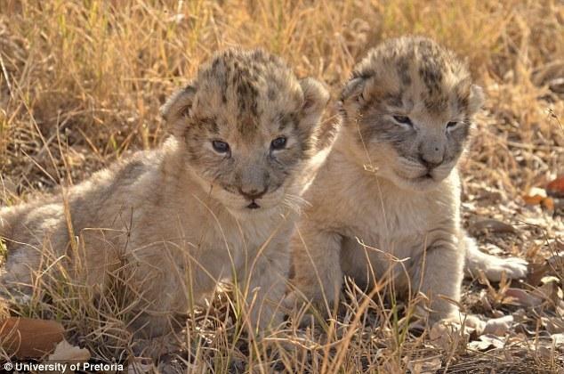 """全球首对试管双胞胎狮子出生 濒危""""大猫""""们有救啦"""