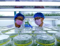 河北磁县:小薯苗撑起脱贫致富大产业