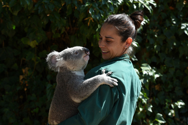 西班牙动物园小考拉亮相 害羞抱紧饲养员乖巧惹人爱