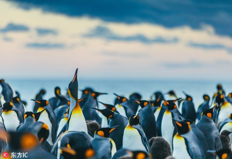 """摄影师航拍国王企鹅栖息地 数万极地""""萌主""""扎堆蔚为壮观"""