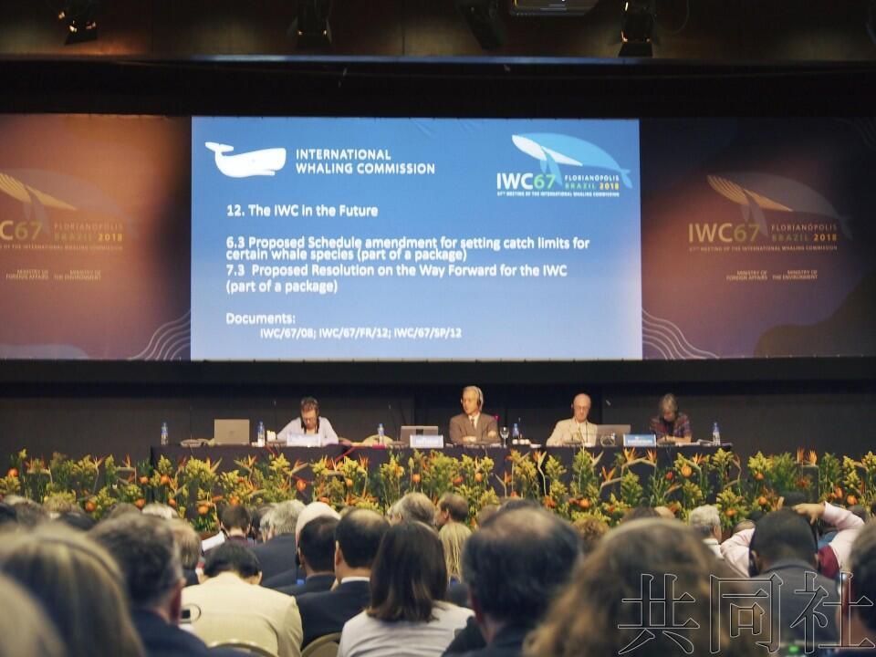 国际捕鲸委员会通过保护鲸类宣言,日本重启商业捕鲸案或遭否决