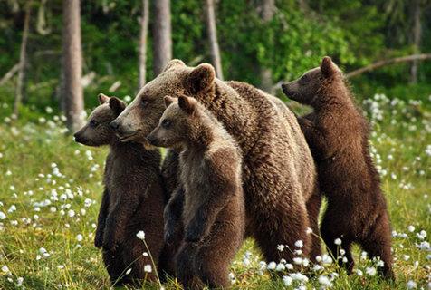 棕熊妈妈教幼崽生存技能 小熊认真学习有模有样