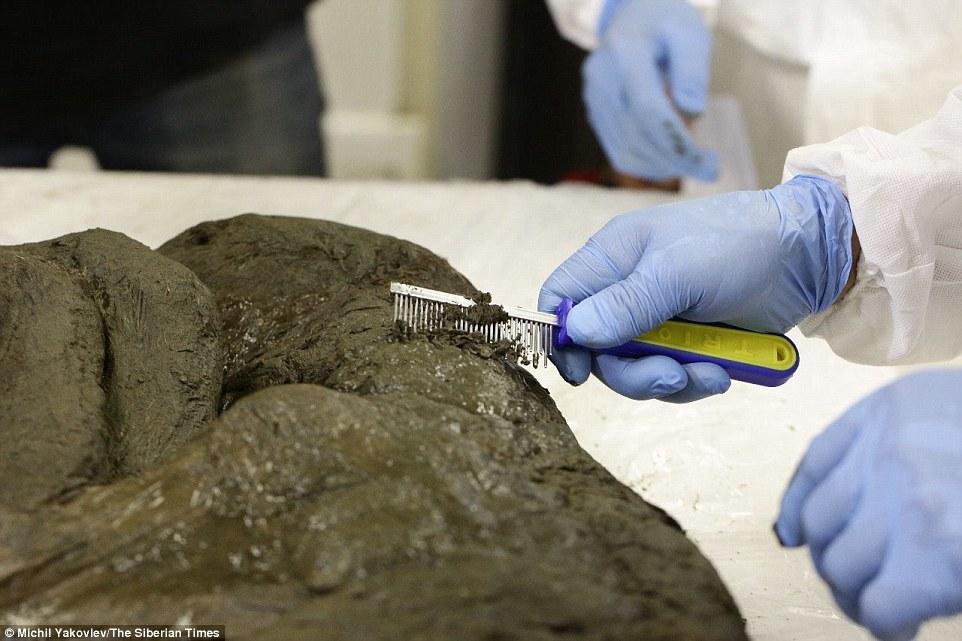 4000年前猛犸重返地球?第一步是克隆4万年前马驹