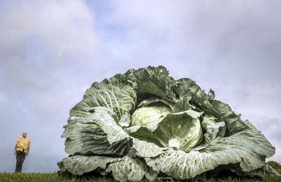 英国举办巨型蔬菜大赛 蔬菜界巨无霸齐聚一决高下