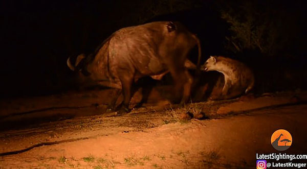 南非水牛击退狮群后重伤 又遭鬣狗偷袭要害