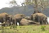 斯里兰卡一象群首领战死 300只同伴默哀