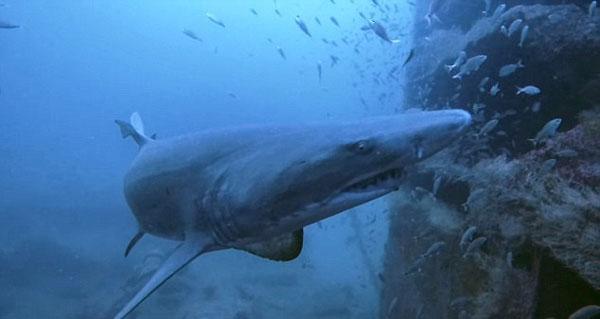惊险邂逅!潜水员沉船旁被鲨鱼悄悄尾随