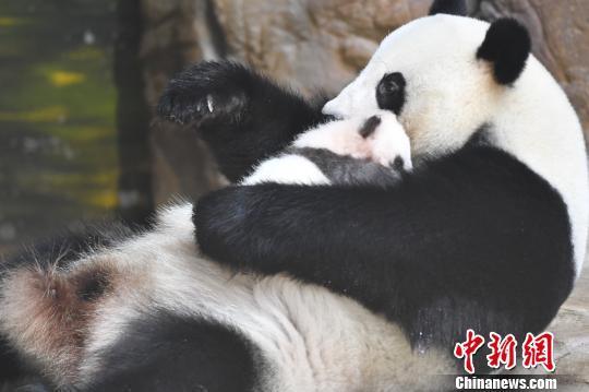 """华南首只子二代熊猫""""隆仔""""领取""""身份证"""""""