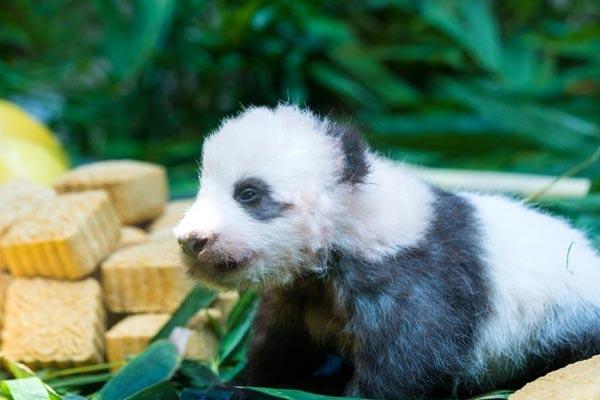 """广州:熊猫宝宝""""隆仔""""与游客见面"""