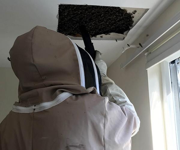 英民宅天花板惊现4万只蜜蜂 养蜂人用吸尘器清除
