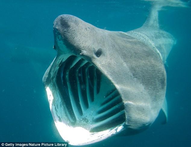 科学家发现姥鲨速度惊人 是游泳运动员2倍
