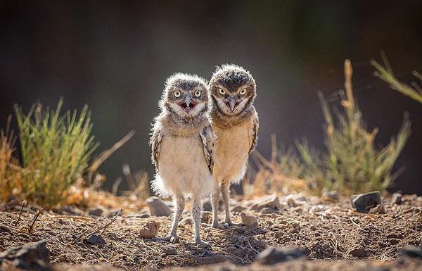 美沙漠穴鸮吃惊看镜头 样子可爱滑稽惹人爱