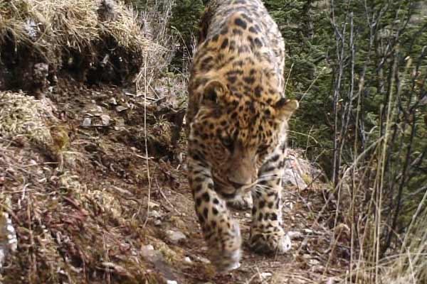 红外相机在青川藏三省区交界处拍摄到多种野生动物画面
