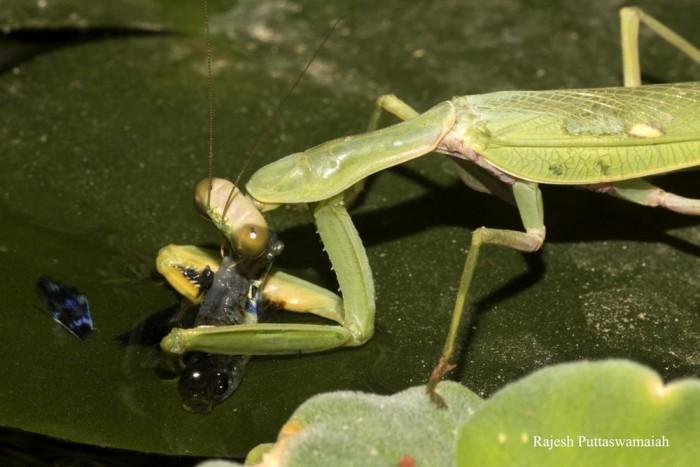 科学家第一次记录祈祷螳螂捕捉并吃掉水里的鱼